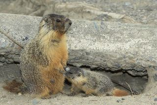 800px-Young_Yellow-bellied_Marmot_suckling